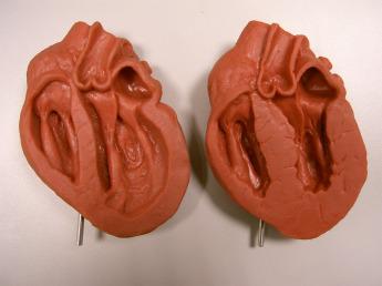 Анатомическая модель сердца Фото 2
